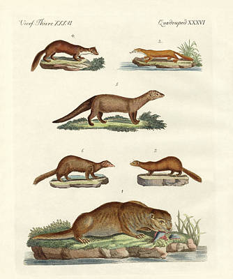 Otter Drawing - Kinds Of Otters And Marten by Splendid Art Prints