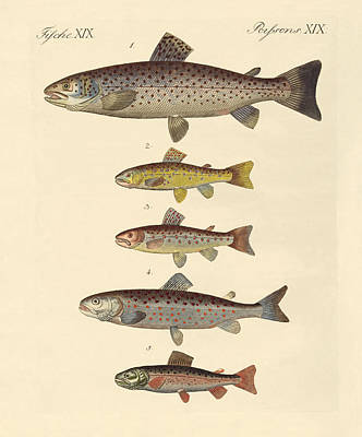 Brown Trout Drawing - Kinds Of Trouts by Splendid Art Prints