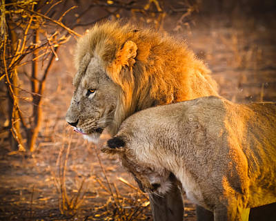 Lion Photograph - King And Queen by Adam Romanowicz