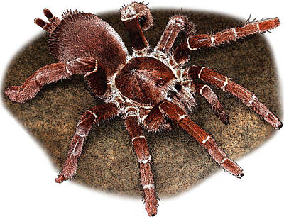 Photograph - King Baboon Spider, P. Muticus by Roger Hall