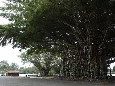 King Banyan Tree Of Hawaii Print by Daniel Hagerman