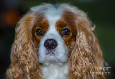 Photograph - King Charles by Dale Powell
