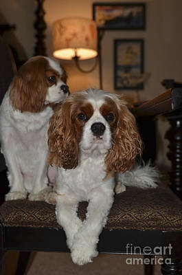Photograph - King Charles Dogs by Dale Powell