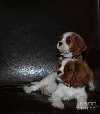 Photograph - King Charles Puppies by Dale Powell