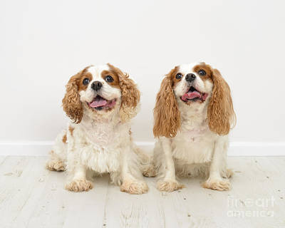 Panting Photograph - King Charles Spaniel Dogs by Amanda Elwell