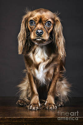 Bitch Photograph - King Charles Spaniel by Justin Paget