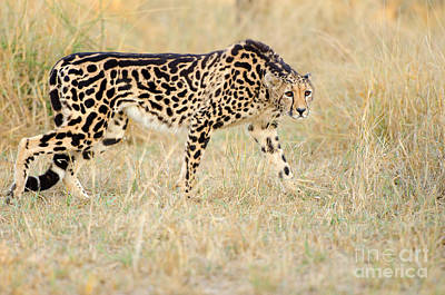 King Cheetah - South Africa Art Print by Birdimages Photography