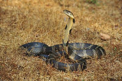 Photograph - King Cobra Agumbe Rainforest India by Thomas Marent
