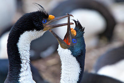 Photograph - King Cormorants by David Beebe