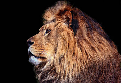 Staring Photograph - King Of Beast by Marcia Colelli