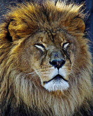 Spot Of Tea Royalty Free Images - King of the Beasts Royalty-Free Image by Frozen in Time Fine Art Photography