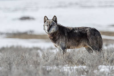 Of Alpha Wolf Photograph - King Of The Canyons by Sandy Sisti