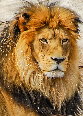 Photograph - King Of The Jungle by Harry Strharsky