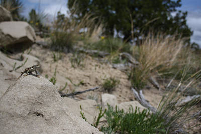 Sagebrush Lizard Photograph - King Of The Rock by Ayla Skorupa