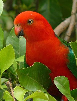 Photograph - King Parrot Portrait by Margaret Stockdale