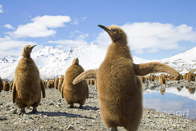 Downy Photograph - King Penguin Chicks South Georgia Island by Yva Momatiuk and John Eastcott