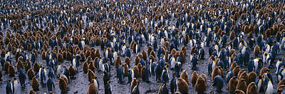 Hatchlings Photograph - King Penguin Colony Salisbury Plain by Panoramic Images