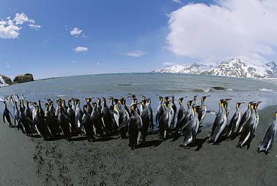 King Penguin Colony South Georgia Island Print by Konrad Wothe