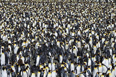 Photograph - King Penguin Colony by Tony Beck