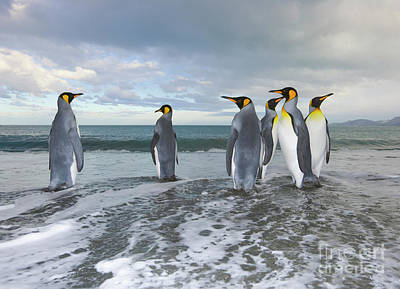 King Penguin Photograph - King Penguin In The Surf by Yva Momatiuk John Eastcott