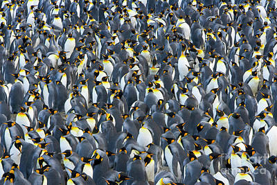 Photograph - King Penguin Rookery South Georgia by Yva Momatiuk John Eastcott