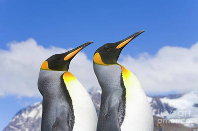 Photograph - King Penguin Duo by Yva Momatiuk John Eastcott