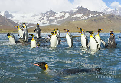 Photograph - King Penguins Swimming St Andrews Bay by Yva Momatiuk John Eastcott