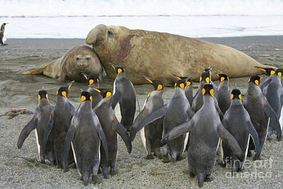 Photograph - King Penguins And Southern Elephant by Yva Momatiuk John Eastcott