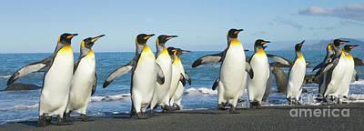 Photograph - King Penguins Coming Ashore Gold Harbour by Yva Momatiuk John Eastcott