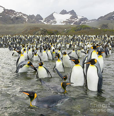 Photograph - King Penguins At Gold Harbour  by Yva Momatiuk John Eastcott