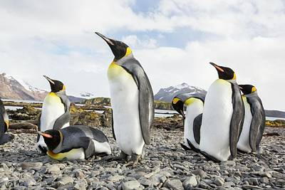 King Penguin Photograph - King Penguins On Prion Island by Ashley Cooper