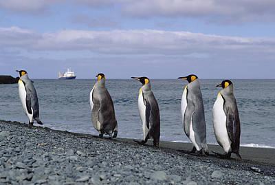 King Penguins On Rocky Shoreline Print by Konrad Wothe