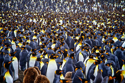 Photograph - King Penguins by Randy Green