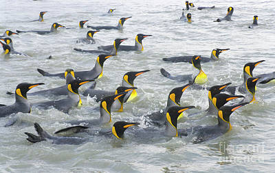 South Georgia Photograph - King Penguins Swimming S Georgia Island by Yva Momatiuk and John Eastcott