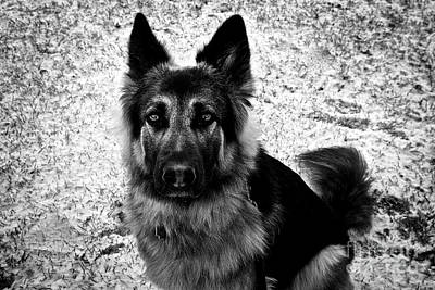 Frank J Casella Royalty-Free and Rights-Managed Images - King Shepherd Dog - Monochrome  by Frank J Casella