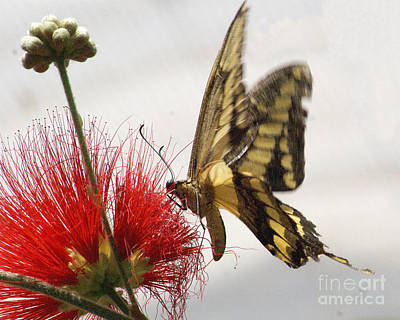 Papilio Thoas Photograph - King Swallowtail Butterfly by Rudi Prott