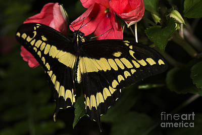 Photograph - King Swallowtail by JT Lewis