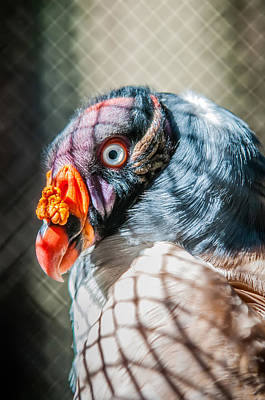 Photograph - King Vulture by Alex Grichenko