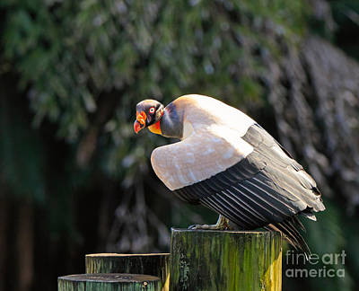 King Vulture Art Print by Louise Heusinkveld