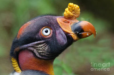 King Vulture Print by Mark Newman