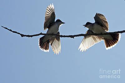 Kingbird Spat 2 Art Print by Sharon Talson
