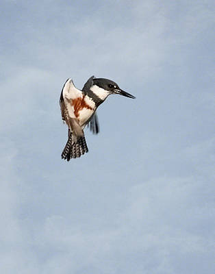 Photograph - Kingfisher Aloft by Dawn Currie