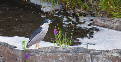 Photograph - Black Crowned Night Heron by Bianca Nadeau