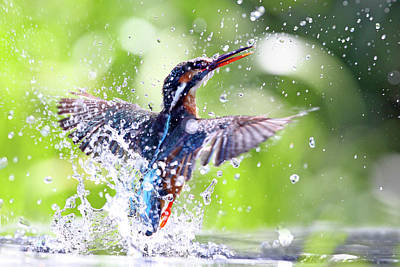 Photograph - Kingfisher Emerging Out Of Water by Mark Medcalf