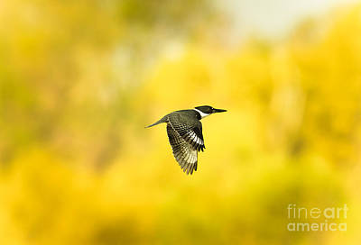Cabin Window Photograph - Kingfisher On Gold 2 by Robert Frederick