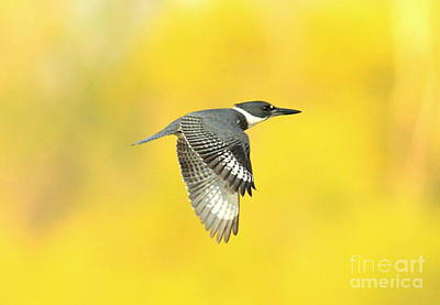 Belted Kingfisher Wall Art - Photograph - Kingfisher On Gold by Robert Frederick