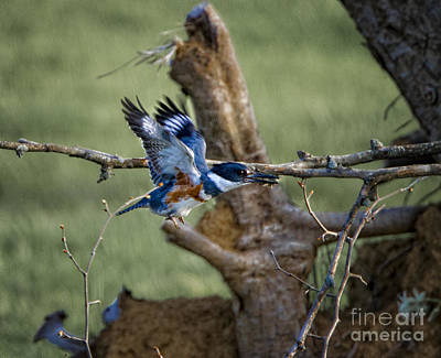 Photograph - Kingfisher by Ronald Lutz