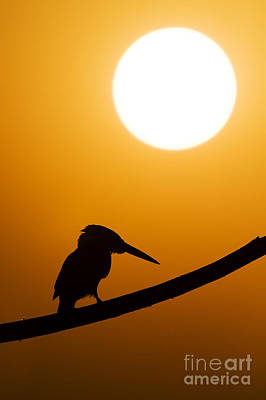 Kingfisher Sunset Silhouette Print by Tim Gainey