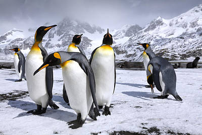 King Penguin Photograph - Kings At Right Whale Bay by Oliver Prince