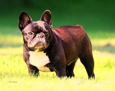 King's Frenchie - French Bulldog Art Print